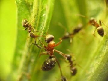 medium_ant.jpg